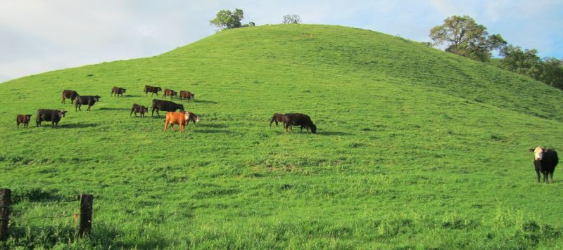 Cattle Grazing on Hill-1