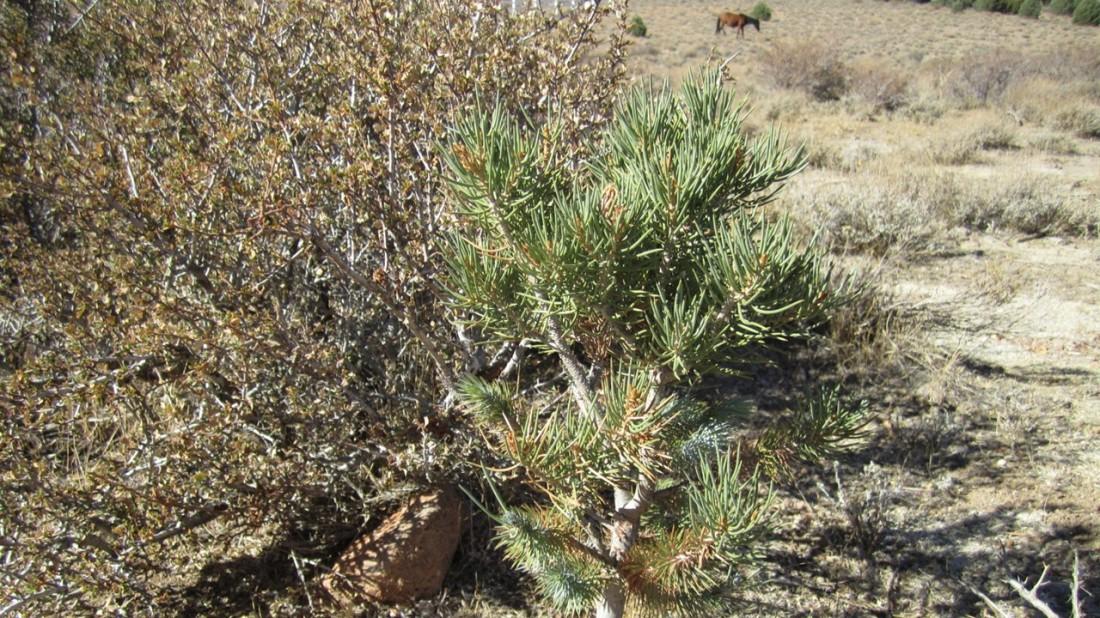 Baby Pinyon Pine-1